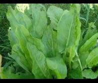 Семена щавеля широколистого Наско 734 Nasko от 25 г