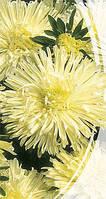 Астра хризантемовидная Изабелла