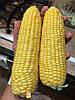 БАГРАТИОН F1 - семена  кукурузы сладкой, 50 семян, Мнагор