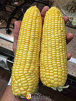 БАГРАТИОН F1 - семена  кукурузы сладкой, 50 семян, Мнагор, фото 1