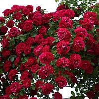 Роза плетистая Фламентанц, ЗКС в горшках 0,8л