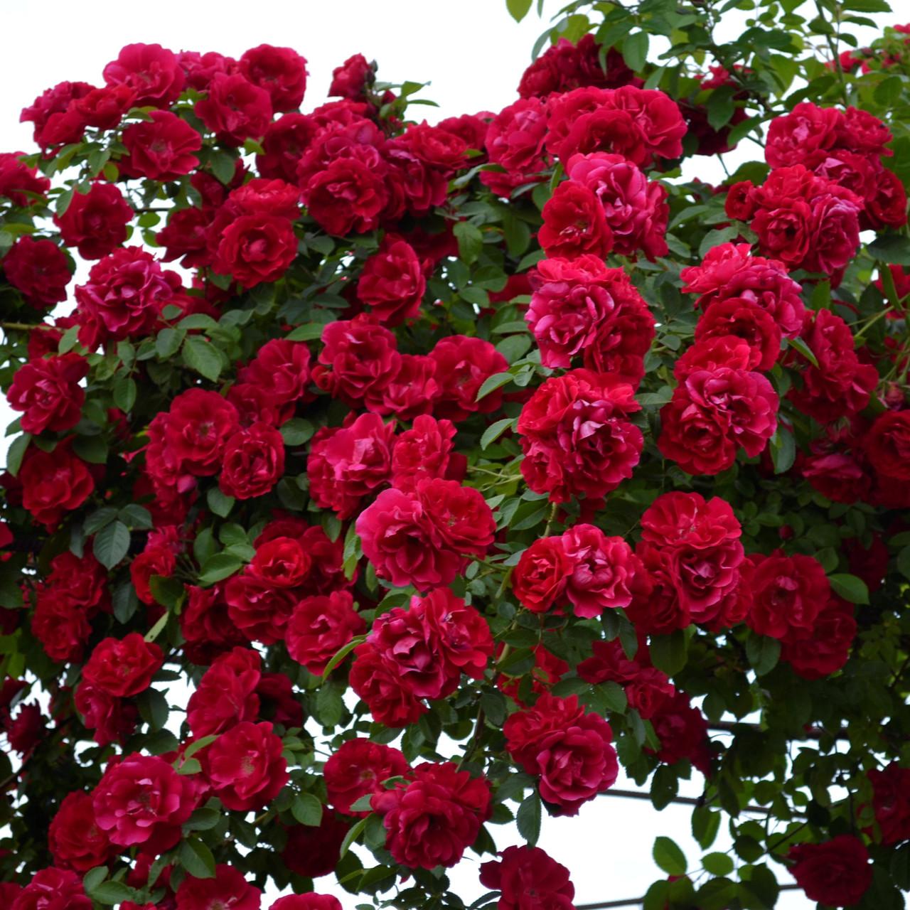 Цветы роза плетистая купить украина