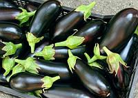 Урожай на даче: выращивание баклажанов
