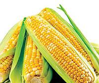 Семена кукурузы сахарной Вондерленд F1 Аgri Saaten 5 000 шт