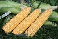 Семена кукурузы сахарной Свит Имидж F1 Аgri Saaten 5 000 шт