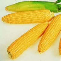 Кукуруза Брусница сахарная-ранний высокоурожайный сорт засухоустойчивый устойчив к перепадам температур