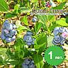 Саженцы голубики Блюголд (Bluegold) 1-летние в горшке 0.8л (Р9) h-20-30 см, 1-3 побегов