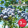 Саженцы голубики Блюкроп (Bluecrop), 3-летние в горшке 5л, h-40-50см. куст.,2-4 побега