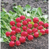 Семена редиса Валери F1 Rijk Zwaan от 25 000 шт (2,25-2,5)