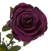 Неувядающая долгосвежая живая роза FLORICH-  ФИОЛЕТОВЫЙ АМЕТИСТ 5 карат