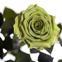 Неувядающая долгосвежая живая роза FLORICH-  ЛАЙМОВЫЙ НЕФРИТ 5 карат