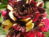 Саженцы роз Абракадабра., чайно-гибридная роза