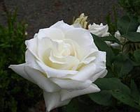 Саженцы роз Анастасия, чайно-гибридная роза