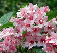 Вейгела цветущая «Pink Princess» 20-30см,2- летки, фото 1