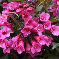 Вейгела цветущая «Victoria» 10-15 см