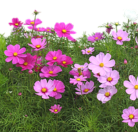 Профессиональные семена Цветов