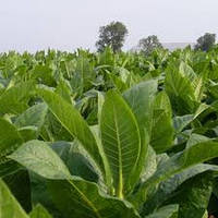 Професійні насіння Тютюну