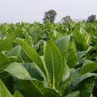 Профессиональные семена Табака
