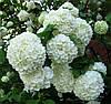 Калина Бульденеж (сорт Снежный шар), 10-15 см, р9, 1-летки