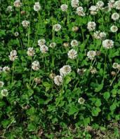 Семена Клевера белого 20 г