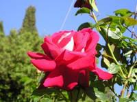 """Роза плетистая """"Седая  дама"""""""