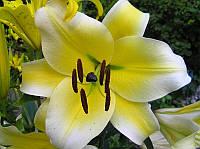 Лилия гигант Conca d'Or