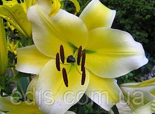 Лилия гигант Conca d'Or (Конкадор) 1 цибулина 12/14, фото 2