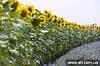 Семена подсолнуха Сонячний настрій (Устойчив к Гранстар Про, Єкспресс)