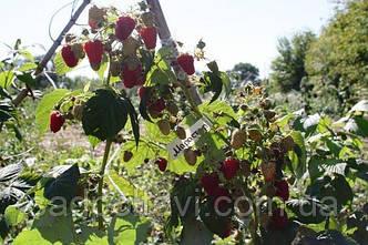 Саженцы малины Марастар ремонтантная, фото 2