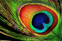 Натуральное стриженое перо павлина 8см*1шт