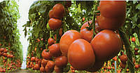 Томат крупноплодный Матиас F1 500 семян