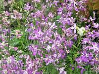 Маттиола семена цветы однолетние растение с приятным вечерним ароматом ( 1 г. в пакете)