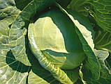 Семена капусты Рингтон F1 / Rington F1, 2500 семян, фото 3
