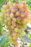 Саженцы винограда: Преображение