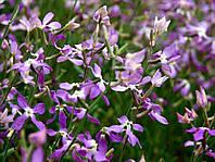 Маттиола двурогая семена цветов с приятным вечерним ароматом для клумб и балконов ( 5 г. в пакете)
