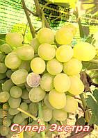 Саженцы винограда очень раннего срока созревания сорта Супер-Экстра