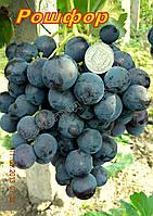 Саджанці винограду дуже рішнього терміну дозрівання сорти Рошфор