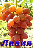 Саджанці винограду дуже раннього терміну дозрівання сорти Лівія