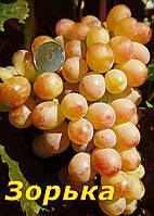 Саженцы винограда раннего срока  созревания сорта Зорька (мускат)