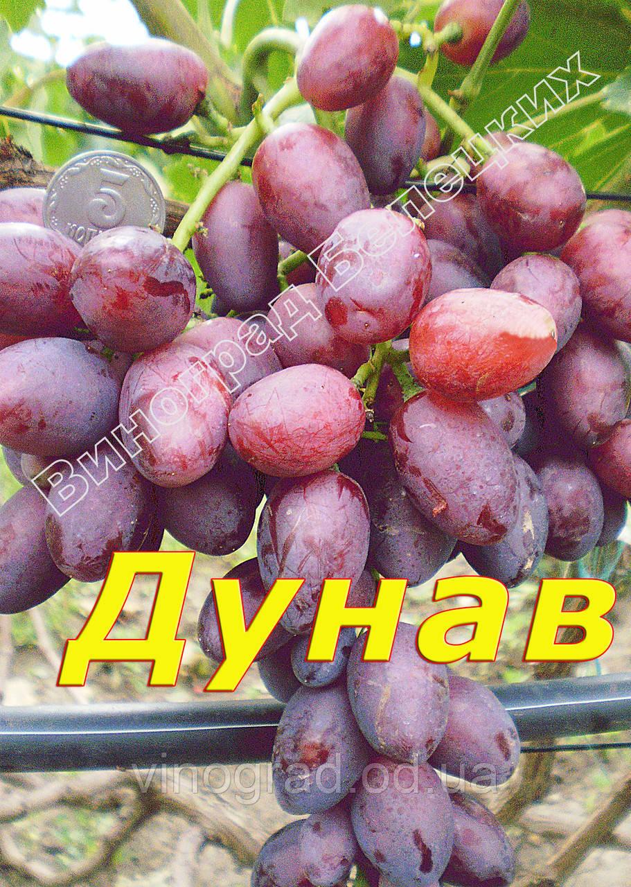 Саджанці винограду раннього терміну дозрівання сорти Дунав