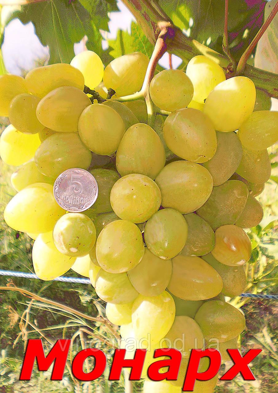 Саженцы крупного,устойчивого, средне-раннего сорта винограда Монарх