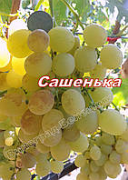 Саженцы винограда средне-раннего сорка созревания сорта Сашенька
