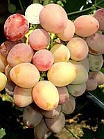 Саженцы винограда средне-раннего срока созревания сорта Восторг красный (ЗОС-1,ЗОСя)