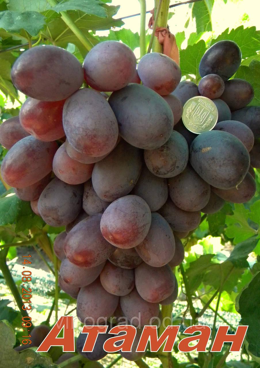 Саджанці винограду, середнього терміну дозрівання сорти Отаман