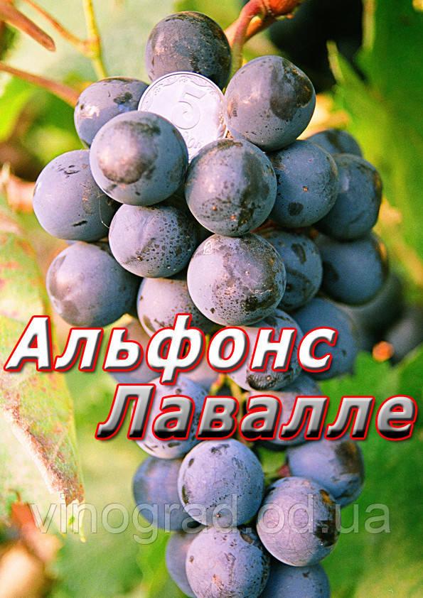 Саженцы винограда позднего сорта Альфонс Лавалле (Сливовый)