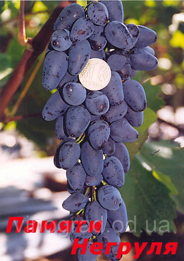 Саджанці винограду пізнього строку дозрівання сорту Пам'яті Негруля