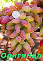 Саженцы винограда средне-позднего срока созревания сорта Оригинал