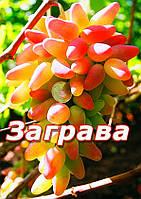 Саженцы винограда средне-позднего срока созревания сорта Заграва