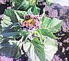 Фізіологічне в'янення соняшнику - новий виклик природи