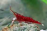 Креветка Кардинал (Cardinal Shrimp/Caridina Dennerli)